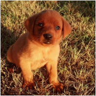AVAILABLE - CEDAR CREEK LABRADORS AKC Black, Yellow, Chocolate Labradors